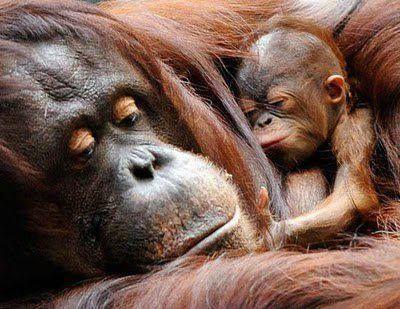 dadffc47ed9be7109eff7e6fbc12065f--bornean-orangutan-baby-orangutan